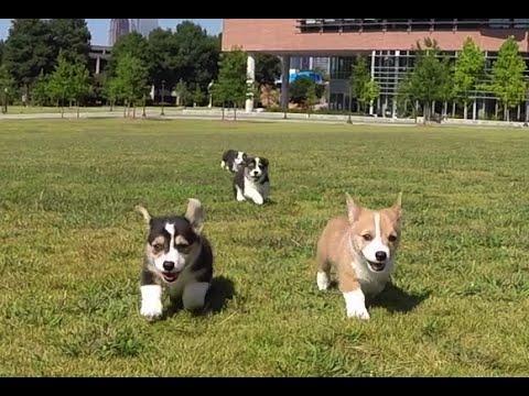 Six Corgi Puppies Visit Georgia Tech