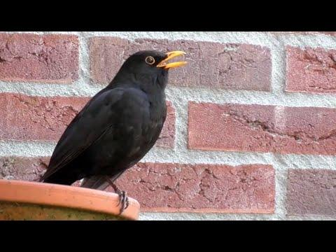 25 Singing Birds from Europe Video
