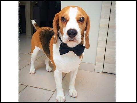 Why You Should Get A Beagle Dog