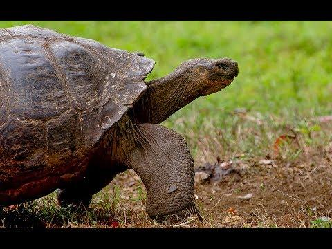 Tracking Giant Galapagos Tortoises | BBC Earth