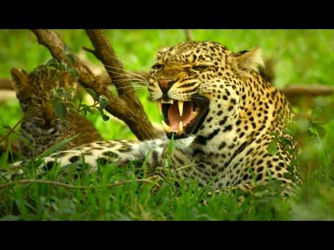 Leopard cubs meet Zalika. Can they escape with their life? #Video