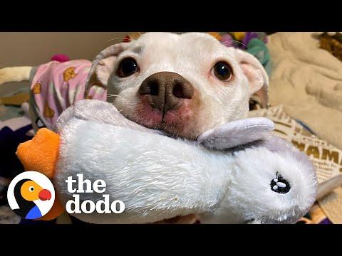 Skinny Abandoned Pit Bull Gets Everything She Dreamed Of #Video