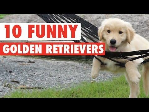 10 Funny Golden Retriever Videos