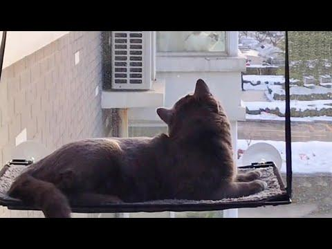 Cat In Window Hammock Watching His Girlfriend #Video