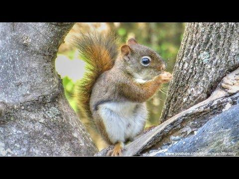 Red Squirrels Excited Eating Sounds