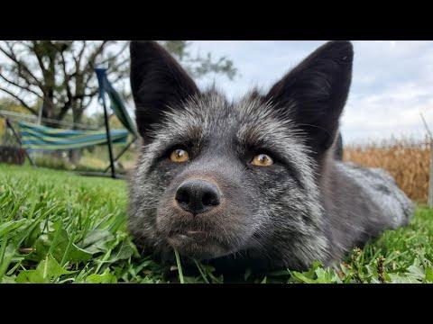 Muttias the fox being cute #Video
