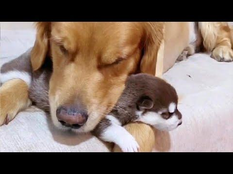 Golden Retriever Absolutely Loves His Best Friend's Puppies Video