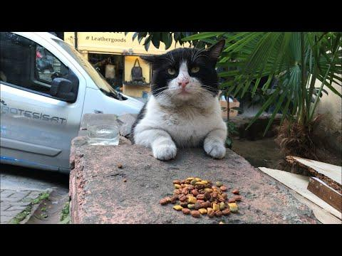 Shy cat asking permission to eat. video.