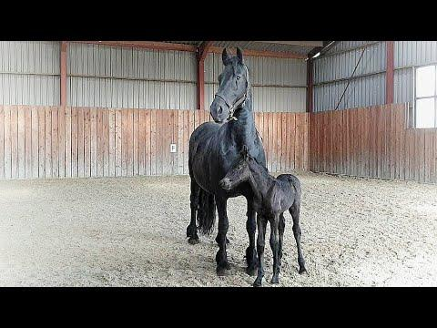 1 day old filly Myrthe for the first time in the arena. Friesian horses video