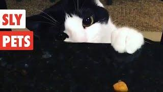 Sly Pets   Funny Pet Video Compilation 2017
