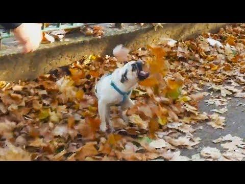 Dogs Playing in Fall Leaves Compilation