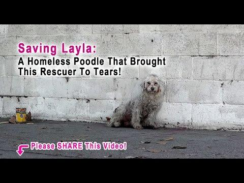 Saving Layla - A Homeless Poodle That Brought This Rescuer To Tears!