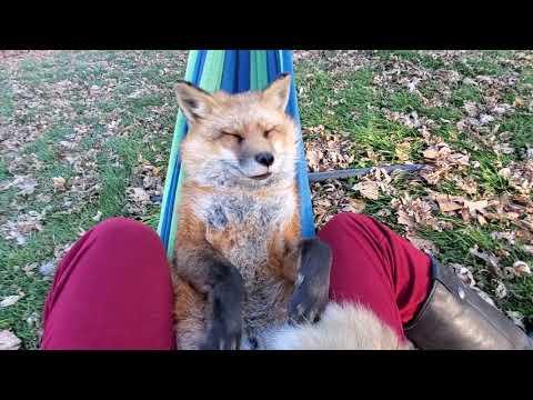 Finnegan Fox rocks in hammock video