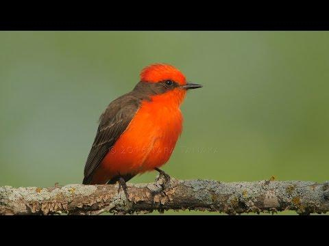 Tara Tanaka - Vermilion Flycatcher Pair Builds A Very Special Nest!