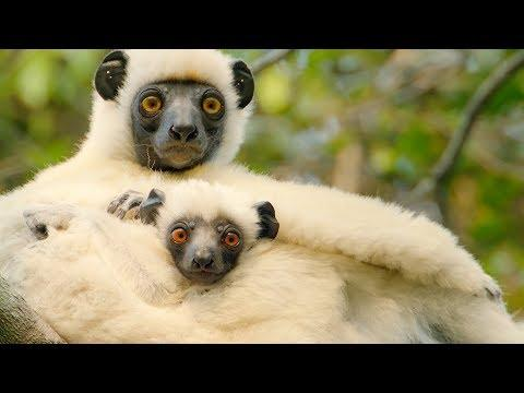 Sifaka Lemurs Make A Treacherous Journey For Food   BBC Earth