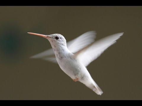 Hummingbirds In Slow Motion - HD