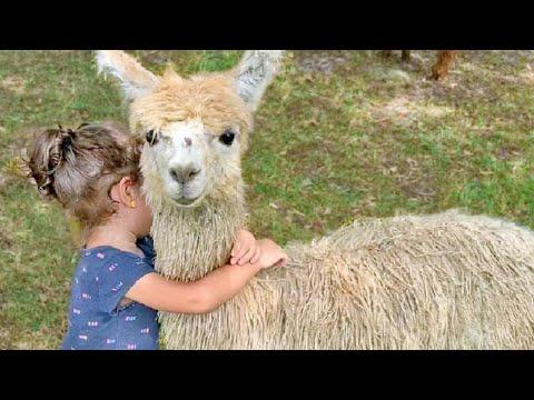 Funny Alpaca & Llama Farm Adventure with Baby Peacocks & Ducks – Funny Animal Videos