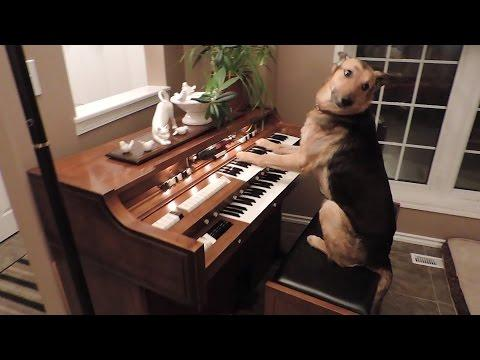 Rescue dog turns on piano and plays it video