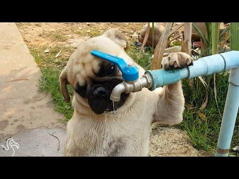 Pug Drinks His Water Right From The Faucet