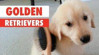Breed All About It: Golden Retrievers