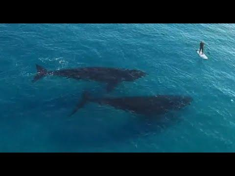 2 Whales Follow A Surfer. Your Daily Dose Of Internet.