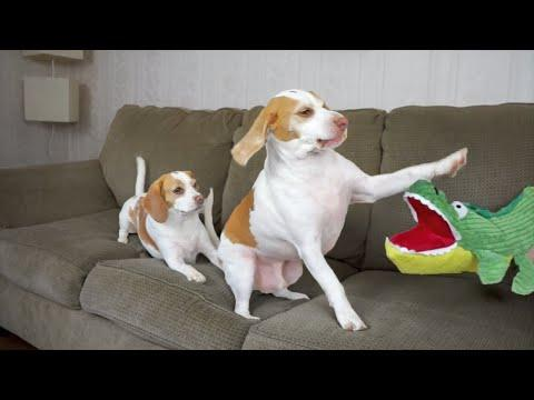 Dog Saves Sister From Alligator Puppet: Cute Dogs Maymo And Penny