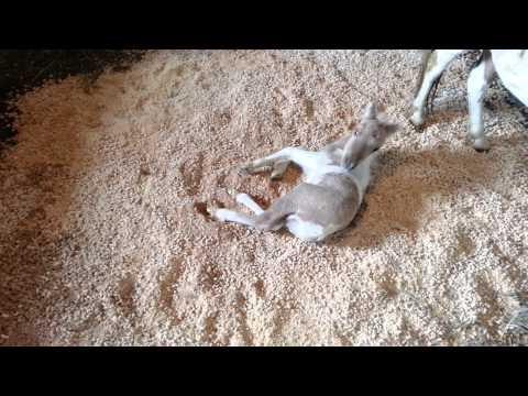 Miniature Horse Foal, Oberon Rolling In His New Bedding.