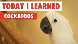 Today I Learned: Cockatoos