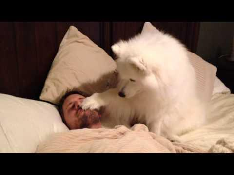 Lexi The Samoyed Wakes Dad UP