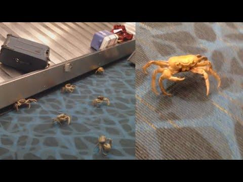Crabs Take Over Airport. Your Daily Dose Of Internet
