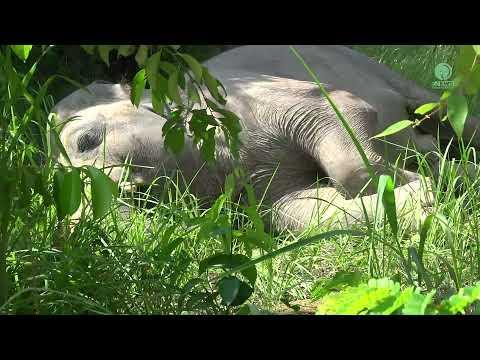 Elephant Kaavan First Time Sleep In The Jungle - ElephantNews #Video