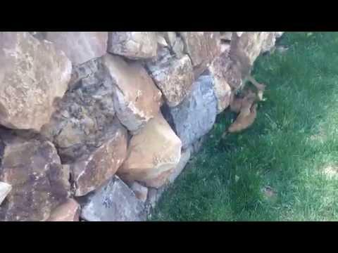 Ferret Babies Follow Mom