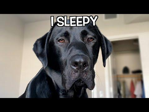 MY LABRADOR'S MORNING ROUTINE VIDEO!!