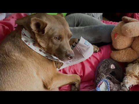 Pregnant Stray Dog With Purple Face Makes Piles Of Toys Around The House #Video