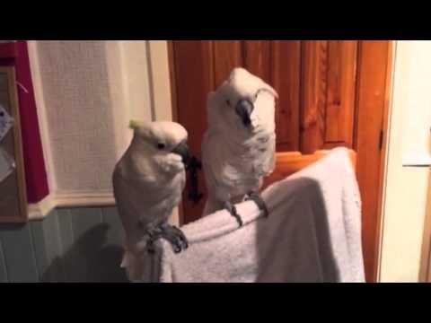 Cockatoo Loves Elvis.