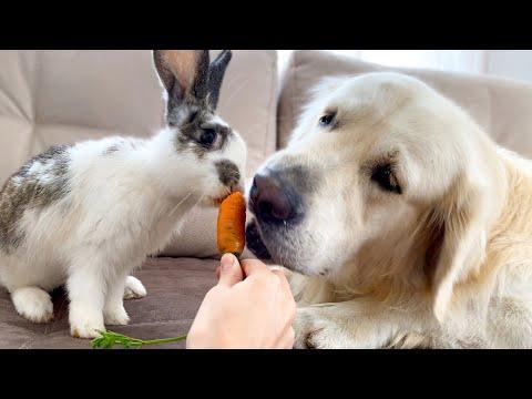 Golden Retriever Thinks He is a Rabbit Video