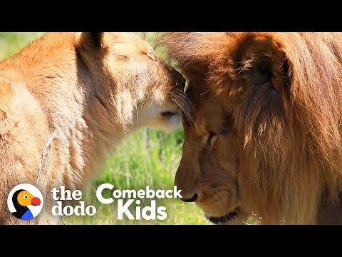 Rescued Circus Lions Touch Grass For The First Time Video | The Dodo Comeback Kids