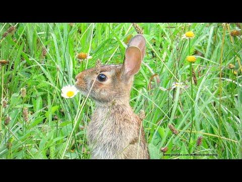 Wild Rabbit Twitching Nose In A Meadow