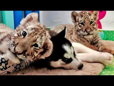 Husky Puppy Meets Baby Tigers and Become Friends #Video
