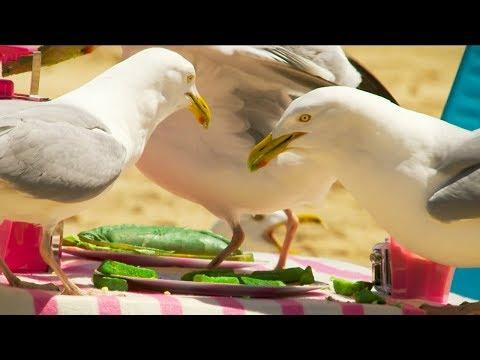Does The Colour Of Food Prevent A Seagull From Stealing?   BBC Earth
