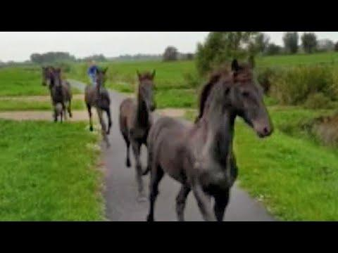 Where are we going with the foals? Friesian Horses on the road. And who is the leader Uniek or Elsje