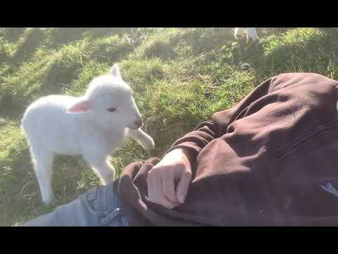 Cute Lamb Needs Attention #Video