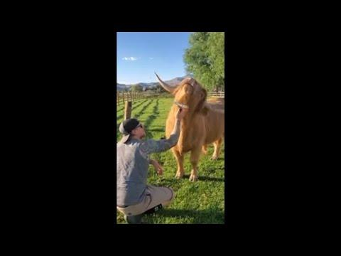 Highland Cow Loves Getting Groomed and Demands More #Video