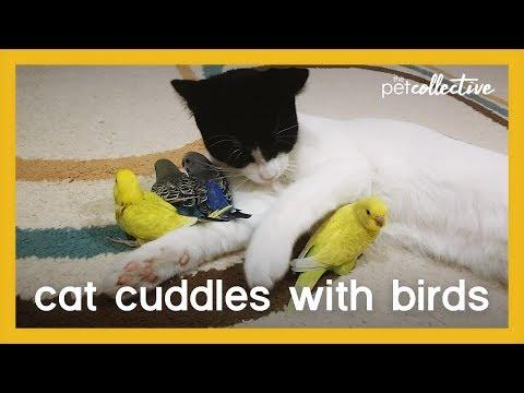 Cat Cuddles with Birds Video