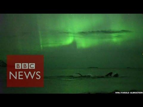 Whales Play Under The Northern Lights In Norway