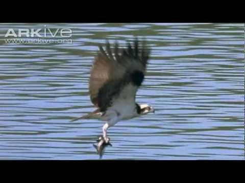 Osprey Catches Six Fish At Once...