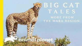 The Cheetah   Big Cat Tales: More from the Mara Region