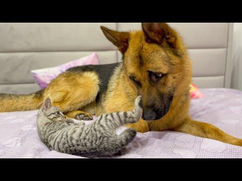 What does a German Shepherd do when a Kitten ignores him #Video