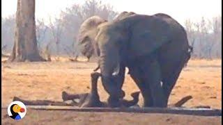 Lions Circle Trapped Baby Elephant UNTIL Another Elephant Family Shows Up | The Dodo