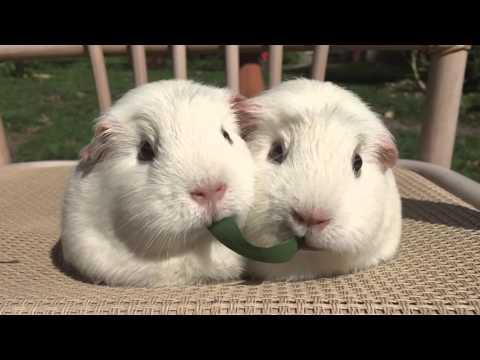 Guinea Pigs Play Tug-of-War With Blade Of Grass